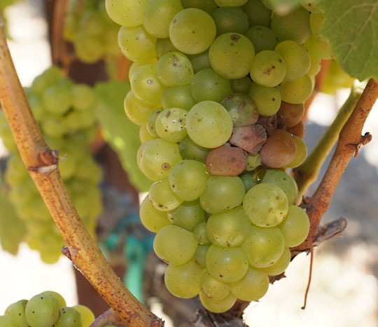 Botrytis-on-Chardonnay-3