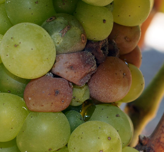 Botrytis-on-Chardonnay-closeup