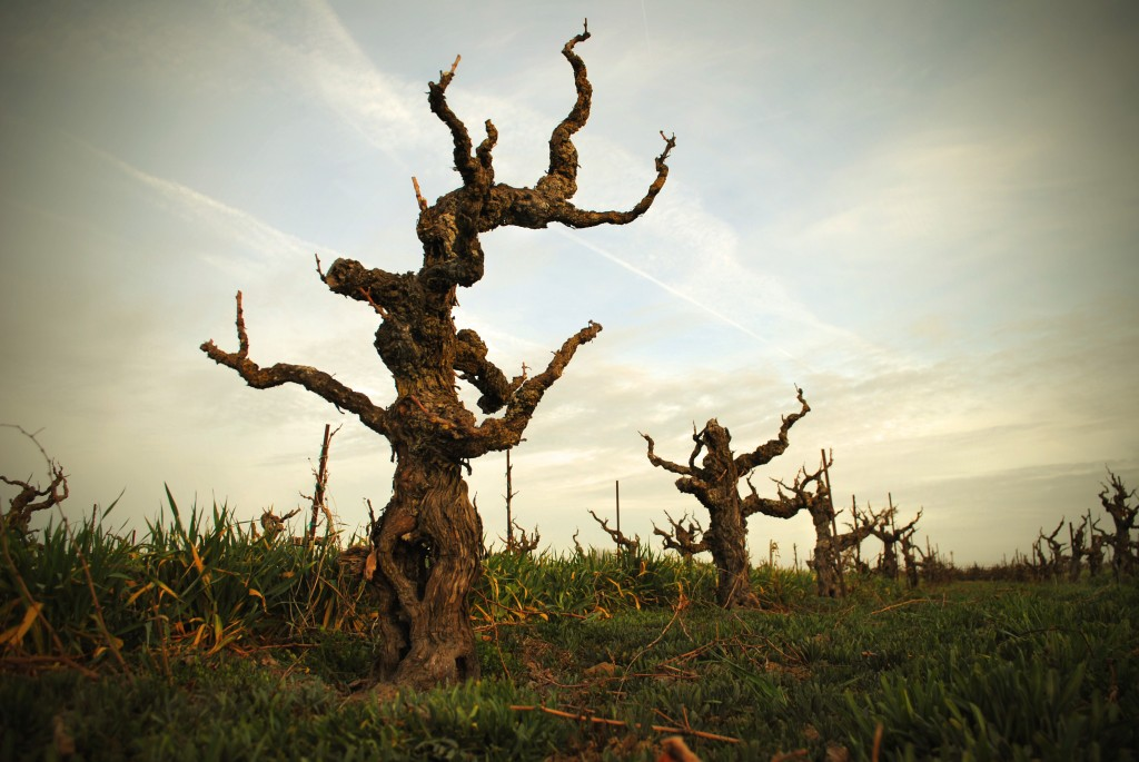Bechthold-Vineyard-Cinsault-After-Pruning-Courtesy-Michael-David-1024x685